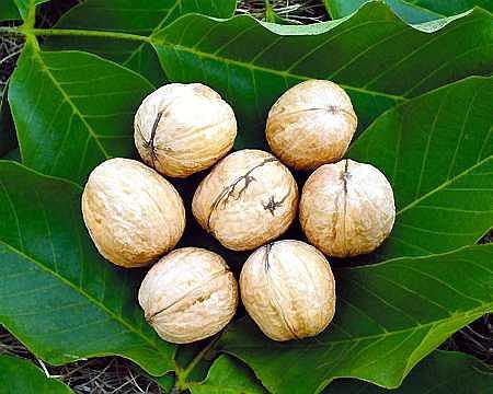 Targo - orzechy: średniej wielkości, owalne, o mocnej i gładkiej skorupie; jądra dobrze wypełniają skorupę i łatwo się wyłuskują. Drzewa: o niezbyt silnym wzroście i kulistych koronach, plenne, wytrzymałe na mróz; odmiana średnio wrażliwa na antraknozę.