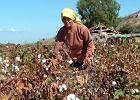 Uzbeckie dzieci zbieraj� bawe�n�, a Obama gratuluje im niepodleg�o�ci