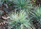 """Kostrzewa ametystowa (Festuca ametissima) Ta trawa z fryzur� """"na je�a"""" przez ca�y rok zachwyca niebieskawym kolorem li�ci. Tworzy k�pki o wysoko�ci 20-25 cm. Lubi s�oneczne miejsca."""