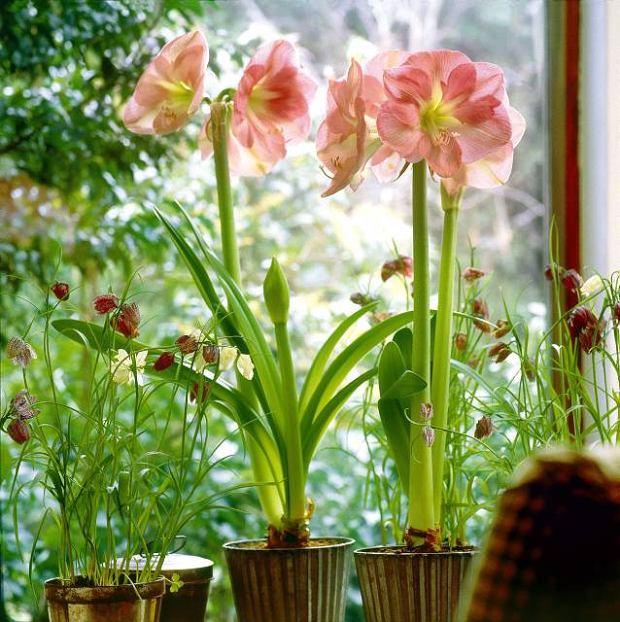 Hipeastrum (Hippeastrum) Jego p�d kwiatostanowy dorasta do wysoko�ci 50-60 cm i zwie�czony jest kilkoma wielkimi kwiatami. Zdobi� one ro�lin� wczesn� wiosn�. Szablaste li�cie utrzymuj� si� do wrze�nia, potem zasychaj�. Cebule przechowujemy w temperaturze ok. 10�C, a po okresie spoczynku sadzimy je ponownie w grudniu lub styczniu.
