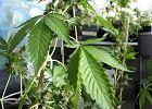 17-latek ucieka� policjantom, po�ykaj�c marihuan�