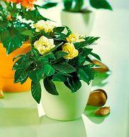 Gardenia ja�minowata