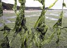 Francja walczy z algami. Wydadz� 130 mln euro
