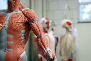 Naukowcy odkryli nowy narząd. Jest wielki, ale świetnie się ukrywał