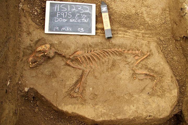 Pochówek psa sprzed kilku tysięcy lat, odkryty niedaleko Brooklynu. Jego DNA m.in. posłużyło do badań pochodzenia amerykańskich psów