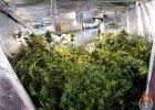 Plantacja marihuany w miasteczku Wilanów