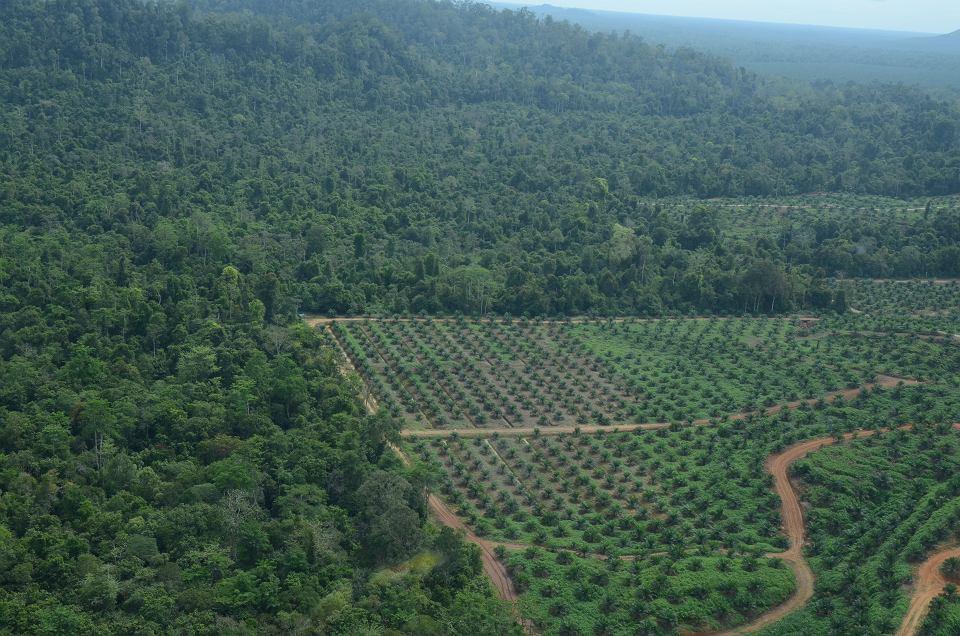 Plantacja olejowców gwinejskich w lesie tropikalnym w Malezji