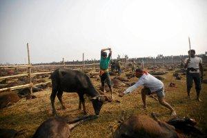 Krwawy rytua� w Nepalu: setki tysi�cy zwierz�t sk�adane w ofierze bogini Gadhimai. A wystarczy�by rozbity kokos...