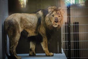 Czy zoo zrobi�o wszystko, aby lew nie zagryz� lwicy? �wiadkowie opowiadaj� i pokazuj� film [+18]