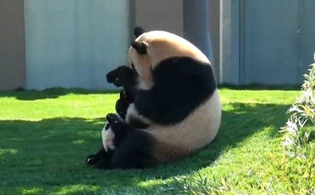 Słodkie pandy!