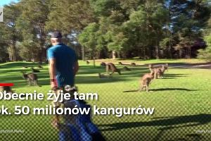 Australia przeżywa inwazję kangurów. Zwierząt jest tak dużo, że eksperci proponują, by na nie polować