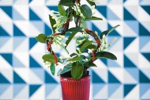 Rośliny domowe: w zwojach pędów