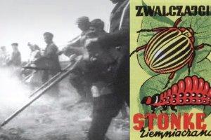 Komuniści twierdzili, że Amerykanie planują inwazję na Polskę. Atak miały przeprowadzić... stonki
