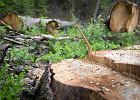 W Puszczy Bia�owieskiej wyci�to 7 tys. drzew. Dla bezpiecze�stwa?