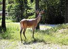 Zezwolili na odstrza� jeleni na terenie babiog�rskiego parku