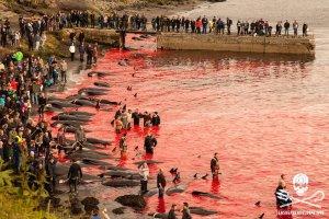"""Morze krwi. Na Wyspach Owczych trwa doroczna rzeź grindwali. """"To się nie dzieje w Japonii, ale w Europie"""""""