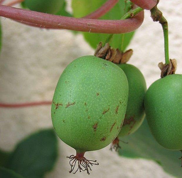 Naukowcy z SGGW wyhodowali now� odmian� minikiwi. Owoc b�dzie r�s� w Polsce