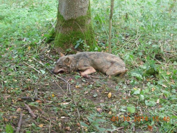 Wilk uratowany przez leśników z Bartoszyc