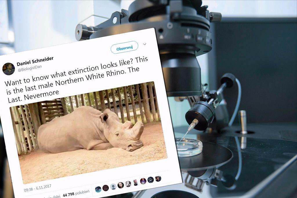 Nosorożec Sudan i in vitro