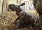 Warszawskie zoo ma nowego mieszkańca. Stawia już pierwsze kroki! Nie obyło się bez sensacji