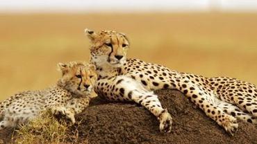 Kenia safari, Kenia wycieczka - Rezerwat Masai Mara / Shutterstock