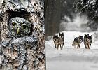 Dlaczego nale�y chroni� Puszcz� Bia�owiesk�? Przede wszystkim dla tych zwierz�t