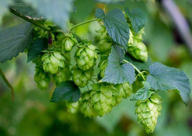 Chmiel to nie tylko piwo. Szyszki chmielu działają uspokajająco i nasennie