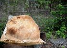 Gradacja kornika w Puszczy Bia�owieskiej ro�nie, ale nie ma si� czym martwi�