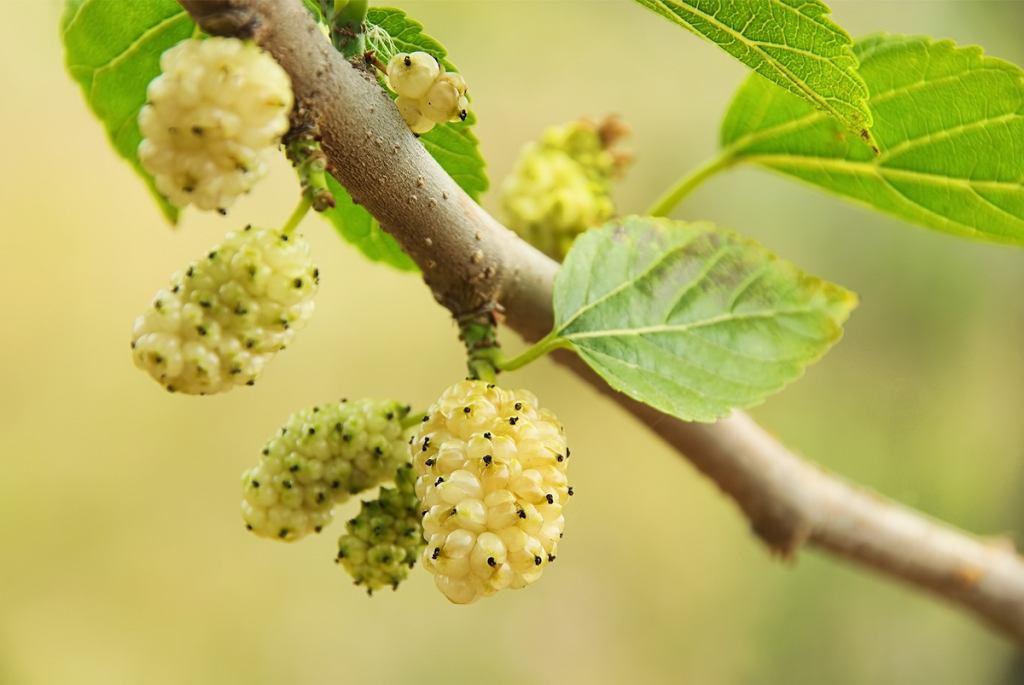 Zawarte w liściach morwy cukry złożone (mające wbudowany w strukturę atom azotu) mają bardzo podobne działanie do leków przeciwcukrzycowych