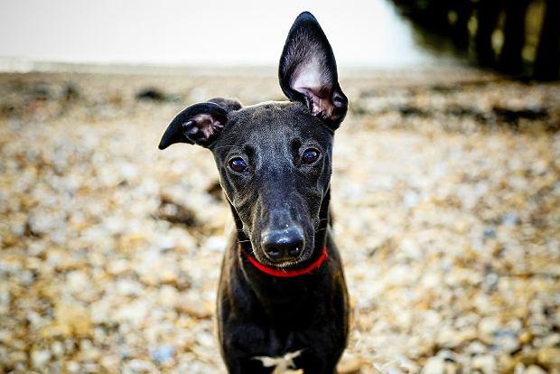 Choroby uszu u psa. Które rasy są na nie szczególnie podatne? [JAK PIES Z KOTEM]
