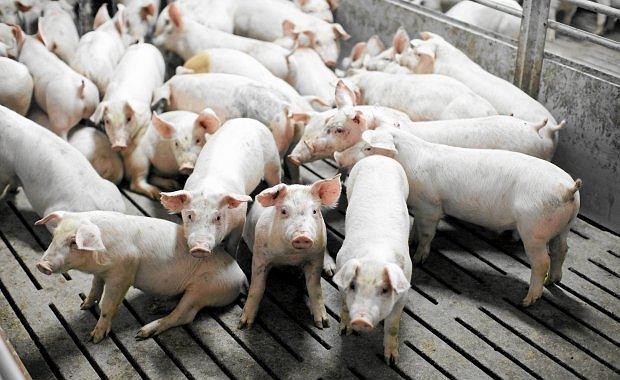 """Polacy jedz� coraz wi�cej wieprzowiny. """"Polacy lubili wieprzowin�, jednak zniech�ca�a ich cena"""""""