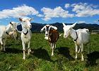 Alternatywa w żywieniu niemowląt: modyfikowane mleko kozie