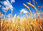 Pszenicy oraz wi�kszo�ci produkt�w zbo�owych nie powinno by� w diecie chorego na celiaki�