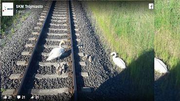 łabędzie zablokowały ruch pociągów