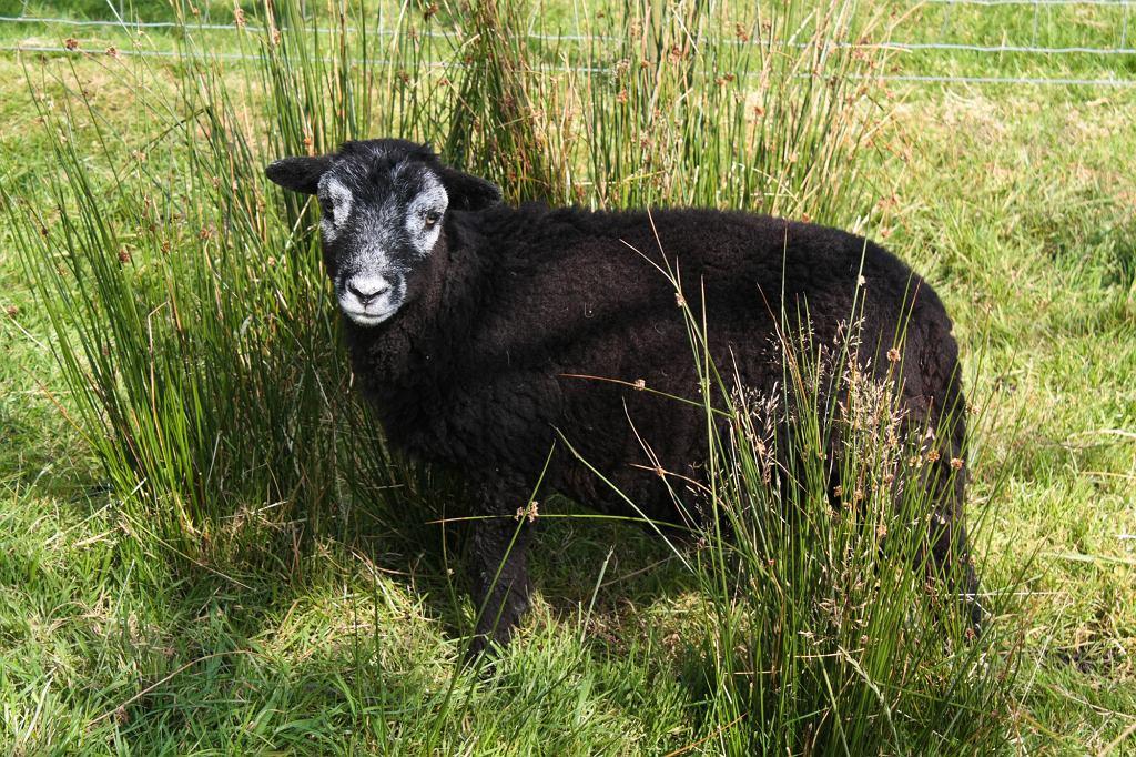Owce rasy Herdwick zwykle rodzą się czarne (fot. Shaun Dunmall / Wikimedia.org / CC BY-SA 2.0)