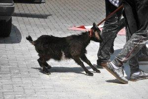 W II LO w Opolu na szkolnym apelu dręczyli koziołka? Uczniowie powiadomili obrońców zwierząt [ZDJĘCIA]