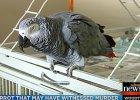 Papuga była świadkiem morderstwa. Rodzina uważa, że ptak powtarza ostatnie słowa ofiary