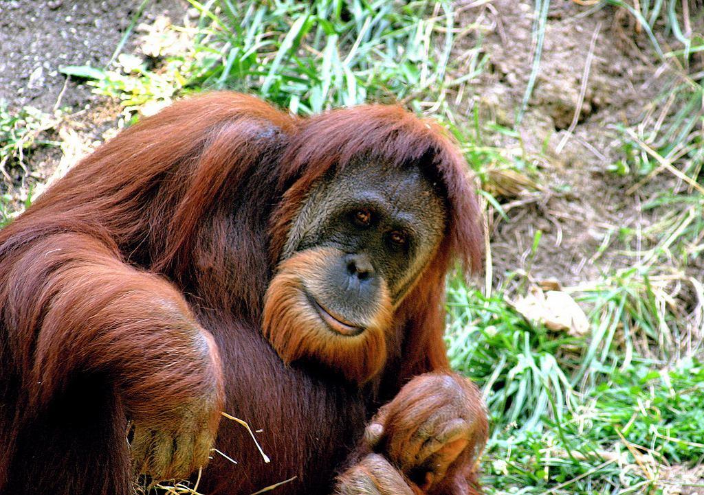 Orangutan (Pongo abelii) w zoo w Cincinnati (fot. Kabir Bakie / Wikimedia.org / CC BY-SA 2.5)