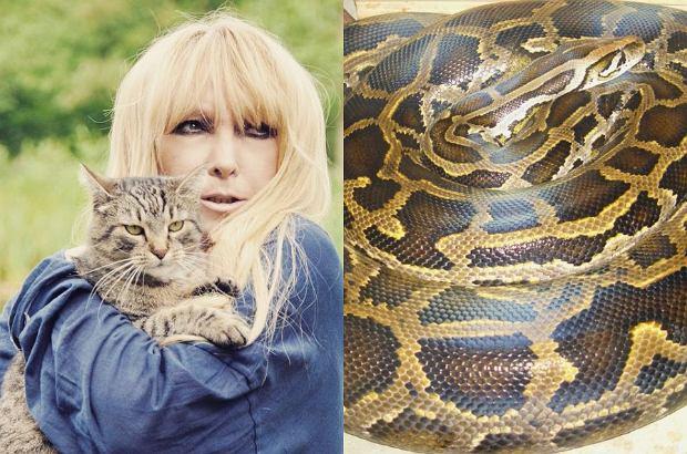 Pyton tygrysi, którego poszukiwania trwają od kilku dni, grasuje w Konstancinie. Ostrzega przed nim również Maryla Rodowicz, która zauważa, że pyton może być zagrożeniem dla jej kotów.