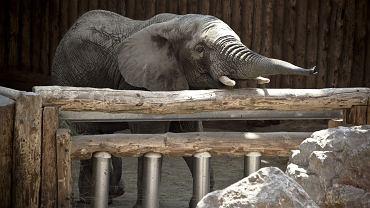 Słonica z zoo w Warszawie zjadła puszkę po coli | Zdjęcie ilustracyjne