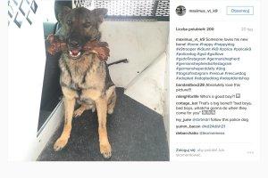 Pies-policjant zdobywa popularność na Instagramie. Zachowuje się jak prawdziwy glina! [ZDJĘCIA]