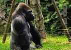 Jak powstała mowa? Słynna gorylica Koko może przybliżyć rozwiązanie zagadki