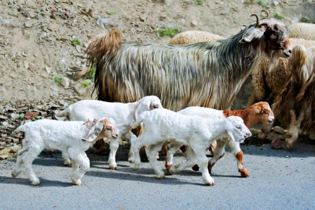 Kozy kaszmir