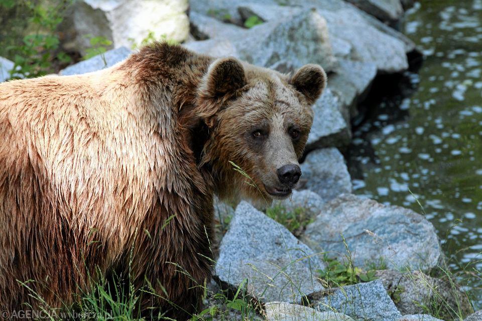 Gdy spotkamy niedźwiedzia, trzeba zachować spokój