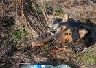 Pies oblany smołą cztery dni leżał przyklejony w rowie