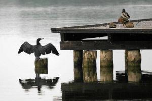 Kormorany na odstrza�, bo przeszkadzaj� rybakom