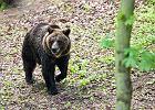 Atak niedźwiedzia w Bieszczadach. Pracownik poszedł po narzędzia, nie zauważył zwierzęcia