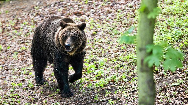 Niedźwiedź brunatny w poznańskim zoo