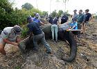 Tak wygląda przeprowadzka 500 słoni
