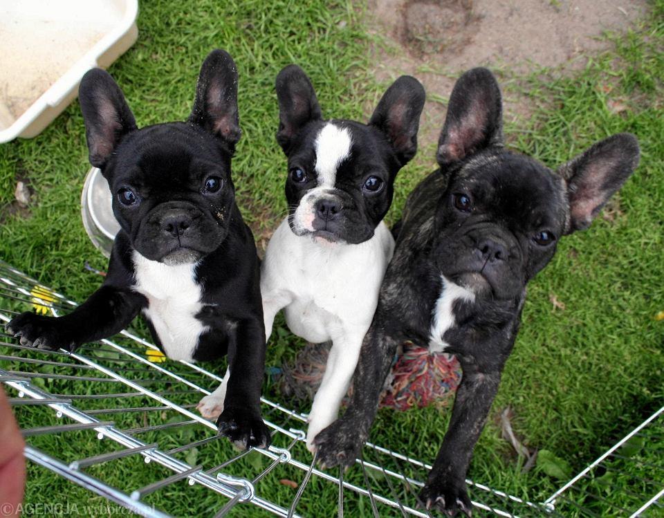 Małe Psy Coraz Popularniejsze Maltańczyki Miniaturowe Szpice